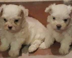 Cachorros Mini maltes