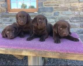 Cachorros labrador chocolate