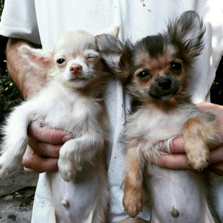 Mini Chihuahua pelo largo
