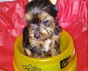 Cachorro mini yorshire