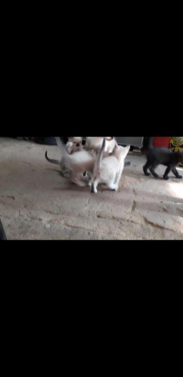 Gatitos siamès - 2