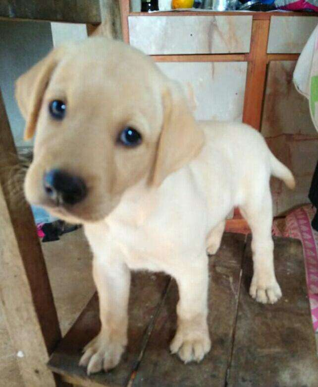 Labrador cachorro