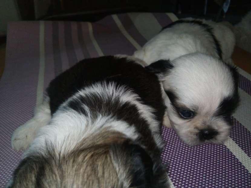 Cachorros de shitzu tricolor vacunados. - 1