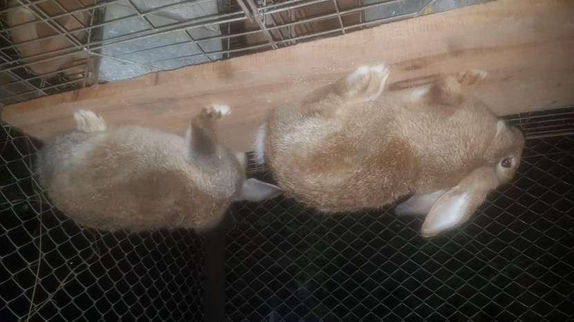 Conejos Cuzas De Gigantes - 0