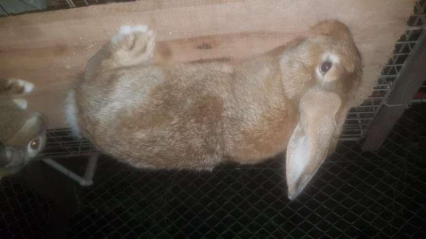 Conejos Cuzas De Gigantes - 1