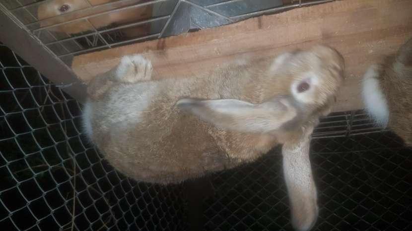 Conejos Cuzas De Gigantes - 2