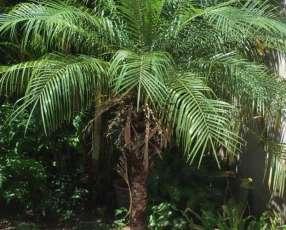 Plantas de coco fénix