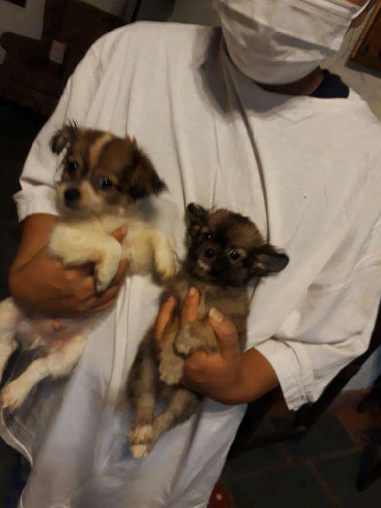 Mini Chihuahuas