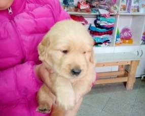 Cachorro golden retriever de 2 meses Machitos