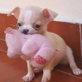 Mini chihuahua macho