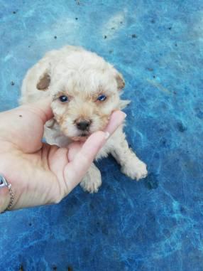 Cachorro Caniche minitoy