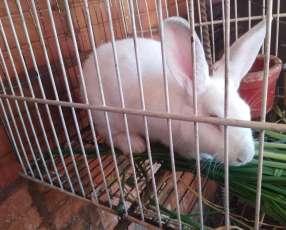 Conejo blanco con ojos rojos