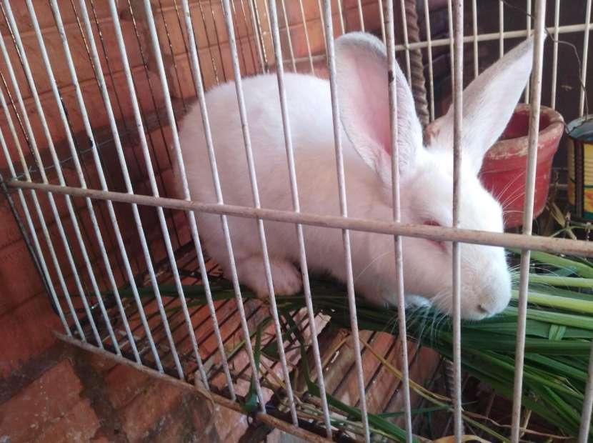 Conejo blanco con ojos rojos - 0
