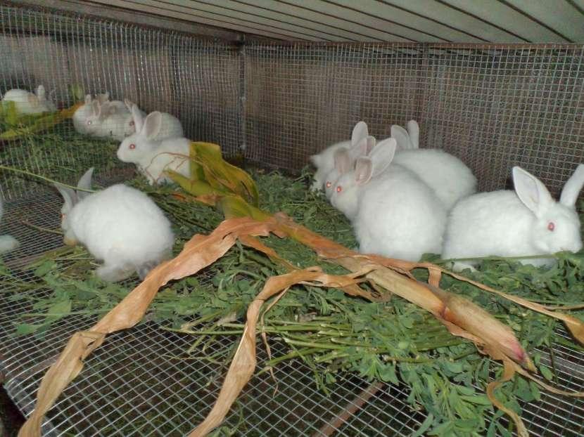 Conejo blanco con ojos rojos - 1