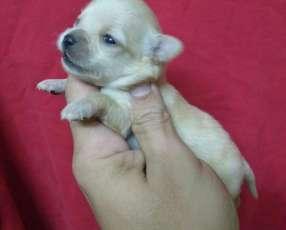 Mini Chihuahua hembra