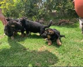 Cachorros pastor alemán de raza pura