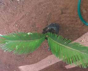Plantitas de palmas