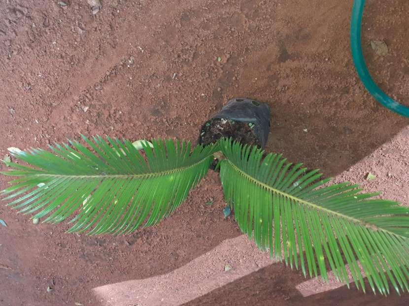 Plantitas de palmas - 0