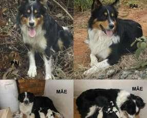 Cachorros border collie macho y hembra