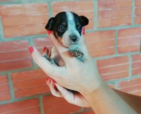 Cachorros pincher miniatura