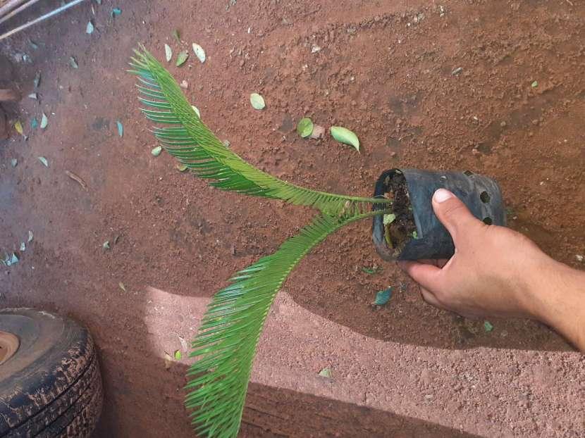 Plantitas de palmas - 1