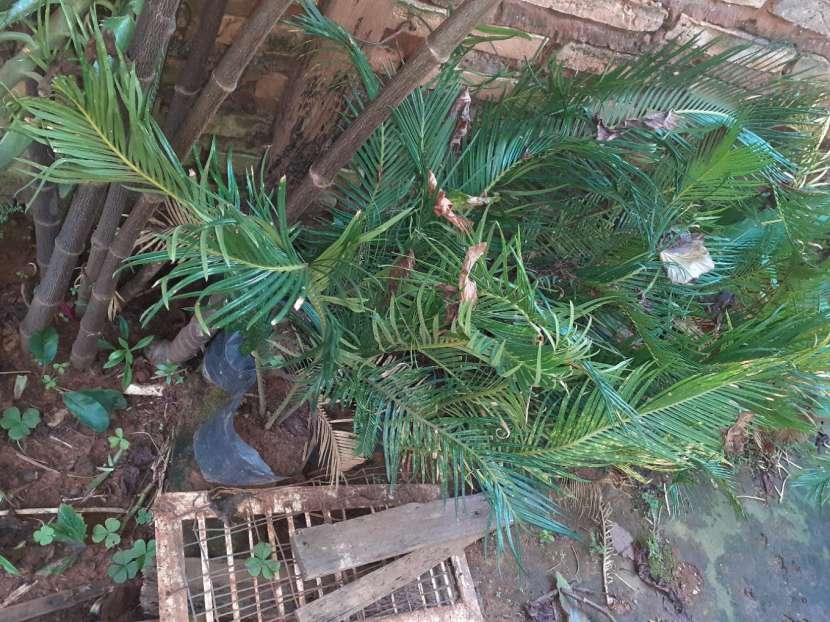 Plantitas de palmas - 2