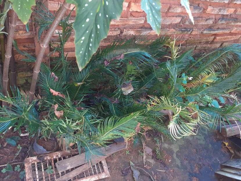 Plantitas de palmas - 3