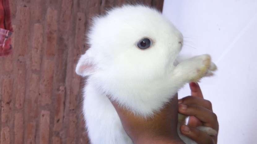 Conejos enanos y cabeza de León. Hermosas mascotas. - 2