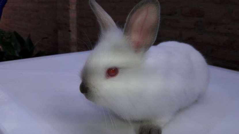 Conejos enanos y cabeza de León. Hermosas mascotas. - 1