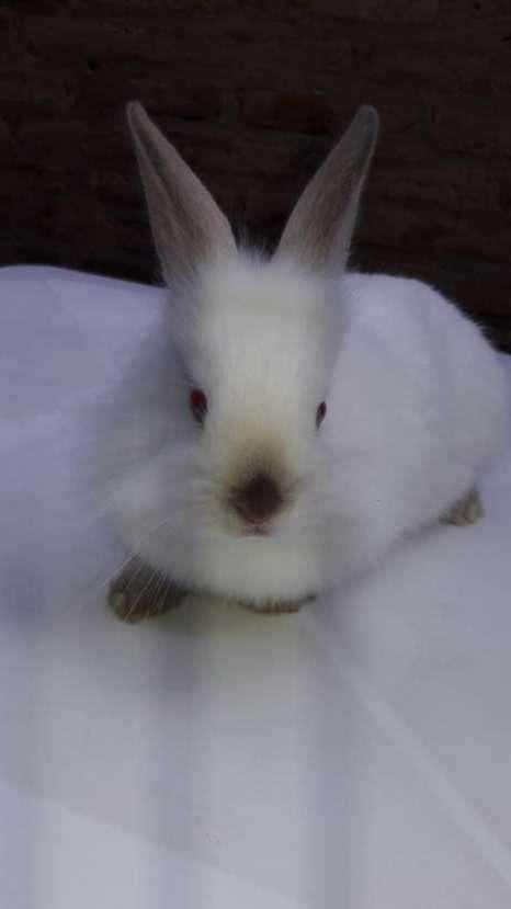Conejos enanos y cabeza de León. Hermosas mascotas. - 0