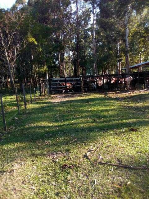550 hectáreas eucaliptal en Itapuá - 3