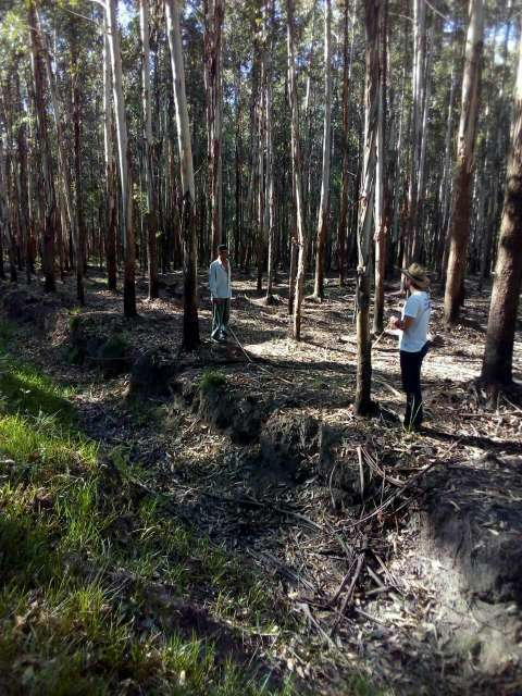 550 hectáreas eucaliptal en Itapuá - 4