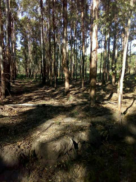 550 hectáreas eucaliptal en Itapuá - 7