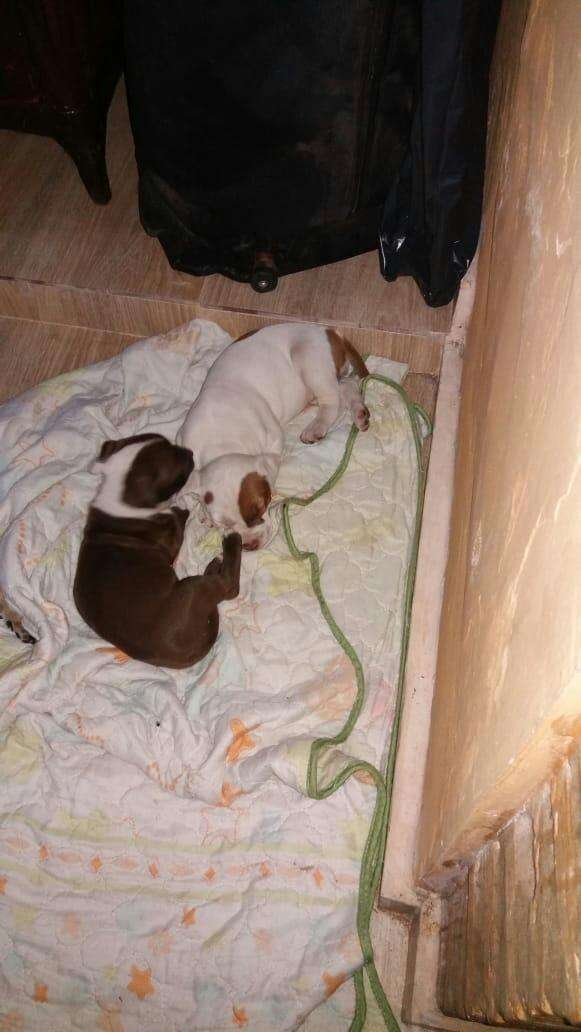 Cachorritas pit de 46 dias - 9