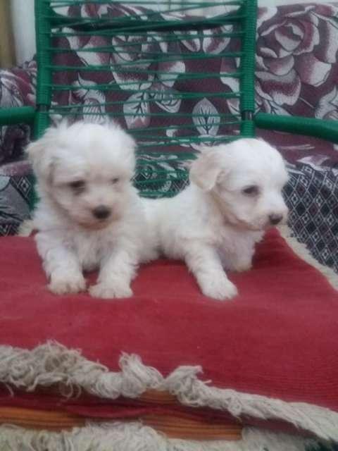 Cachorros caniches - 1