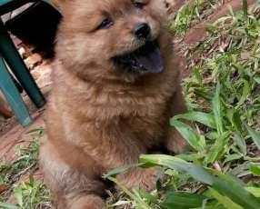 Cachorros/as Chow chow
