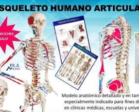 Esqueleto humano en resina
