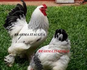 Pollitos Brahma