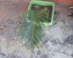Planta de cica