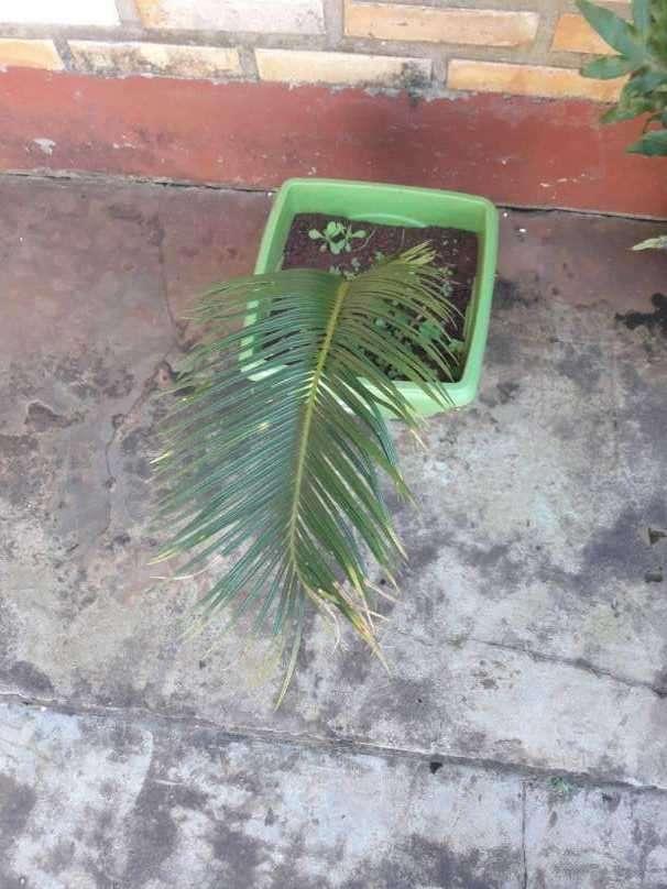 Planta de cica - 0