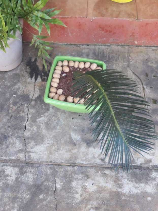 Planta de cica - 1