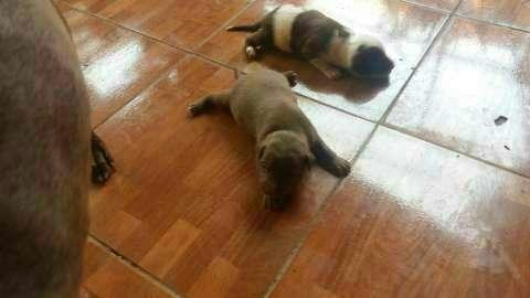 Cachorros pitbull - 2