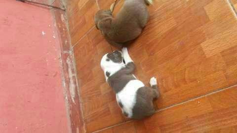 Cachorros pitbull - 4