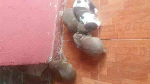 Cachorros pitbull - 6