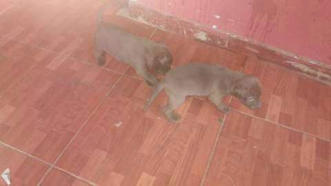 Cachorros pitbull - 9