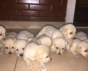Labradores cachorros