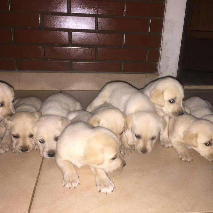 Labradores cachorros - 0