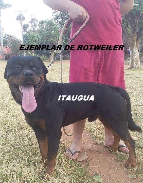 Cachorros Rotweiler - 0