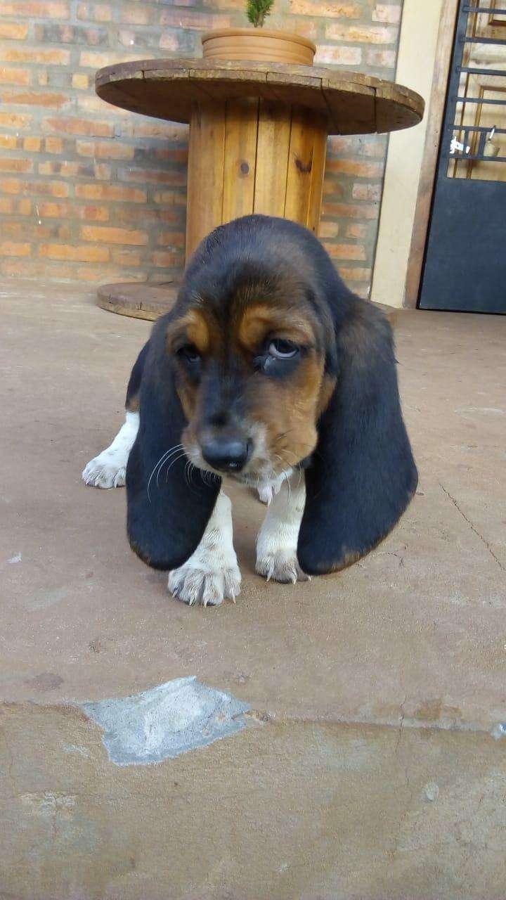 Cachorros Basset Hound - 0