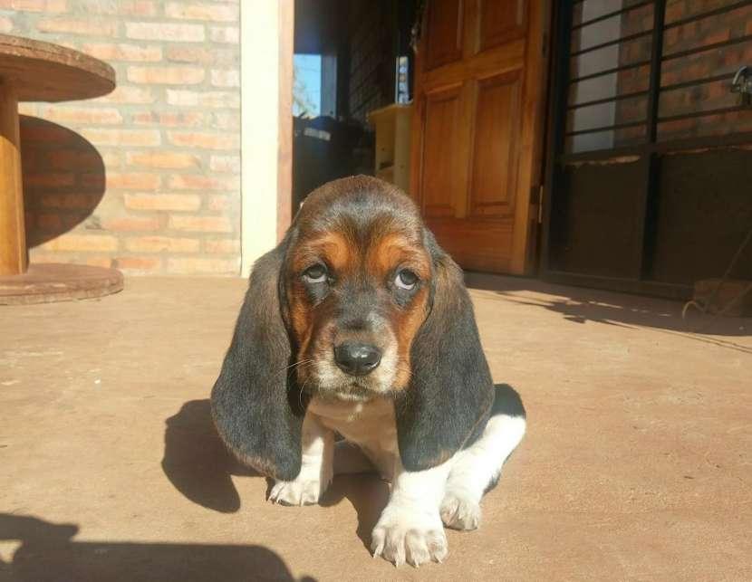 Cachorros Basset Hound - 2